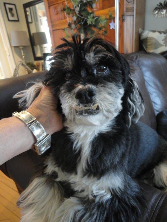 """Razz – aka Razzmatazz or Razzle Dazzle or RazzmatazzleDazzle -- is a seven year old Lhasa Apso, just shy of six kilograms. Her owners, Charlotte and Will Tataryn, say it's important for Razz to stay at that healthy weight following major surgery in 2011 to remove eroded, arthritic bone on her upper leg. It's just as important as keeping her active, something she started on right after the surgery. She became the """"miracle dog,"""" amazing her vet by running like a carefree puppy in less than eight weeks after the debilitating surgery. It's the second miracle in Razz's life. Razz and a sibling, Barkley, were puppy-napped from a breeder and had to be rescued by police. Charlotte and Will saw her photo in the paper, fell in love and tracked down the breeder to buy her. Later, Will became a """"treat sneaker,"""" Charlotte confides, but Razz's scales ratted him out, and their vet gave a very effective pep talk about how unhealthy and unfair it was to sneak her treats. The Tataryns say they now know praise, appreciation and attention make great treats. Pet Valu's Fit Pet Project (Submitted photo)"""