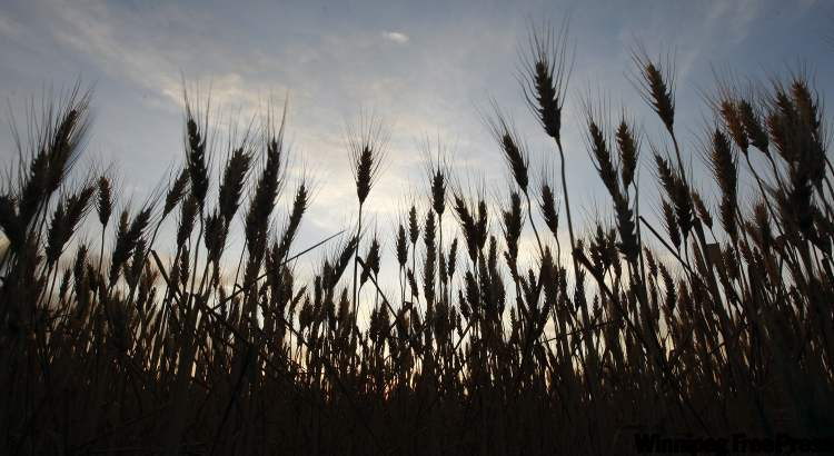 Hot dry summer weather has grain crops maturing and turning a golden colour. Canadian Wheat Board CEO Ian White said estimated returns from this year's crop will be $5.8 billion — the fourth highest in history.