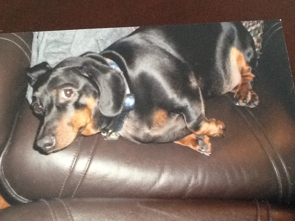 This is Sidney Morrison Legrand. A purebred dachshund, he is 3 1/2 years old and weighs 25 lbs. Owner Heather Legrand would like him to lose about seven pounds. She calls Sidney her chunkster youngster. Pet Valu's Fit Pet Project  (Submitted photo)