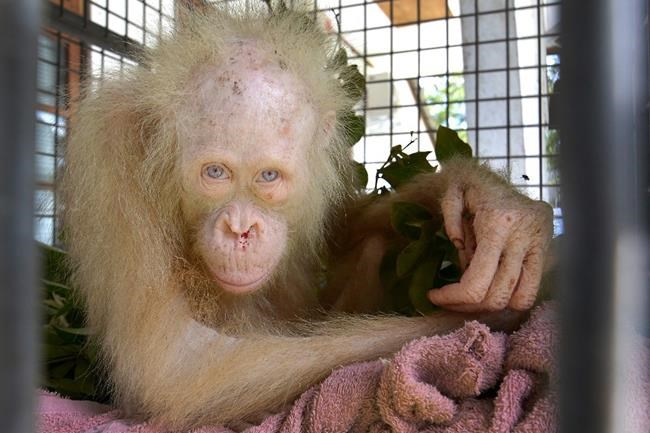 Albino orangutan named 'Alba' after worldwide appeal