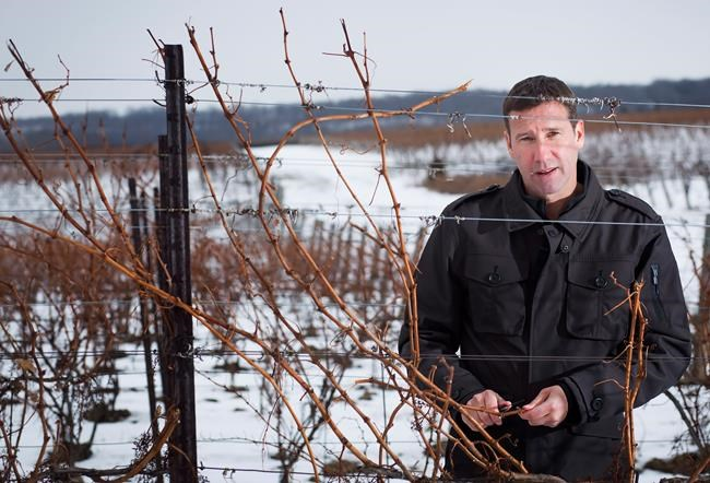 Matthew Speck, viticulturist at Henry of Pelham Estate Winery in St. Catharines, Ont., examines a vine's buds for damage due to recent cold weather in the winery's vineyard, Wednesday, January 10, 2018. THE CANADIAN PRESS/Tara Walton