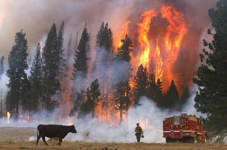 Firefighter Dusty LaChapelle from the El Dorado County Fire Department moves away from flames from the fast-moving Rim fire near Yosemite National Park. (Don Bartletti / Los Angeles Times / MCT)
