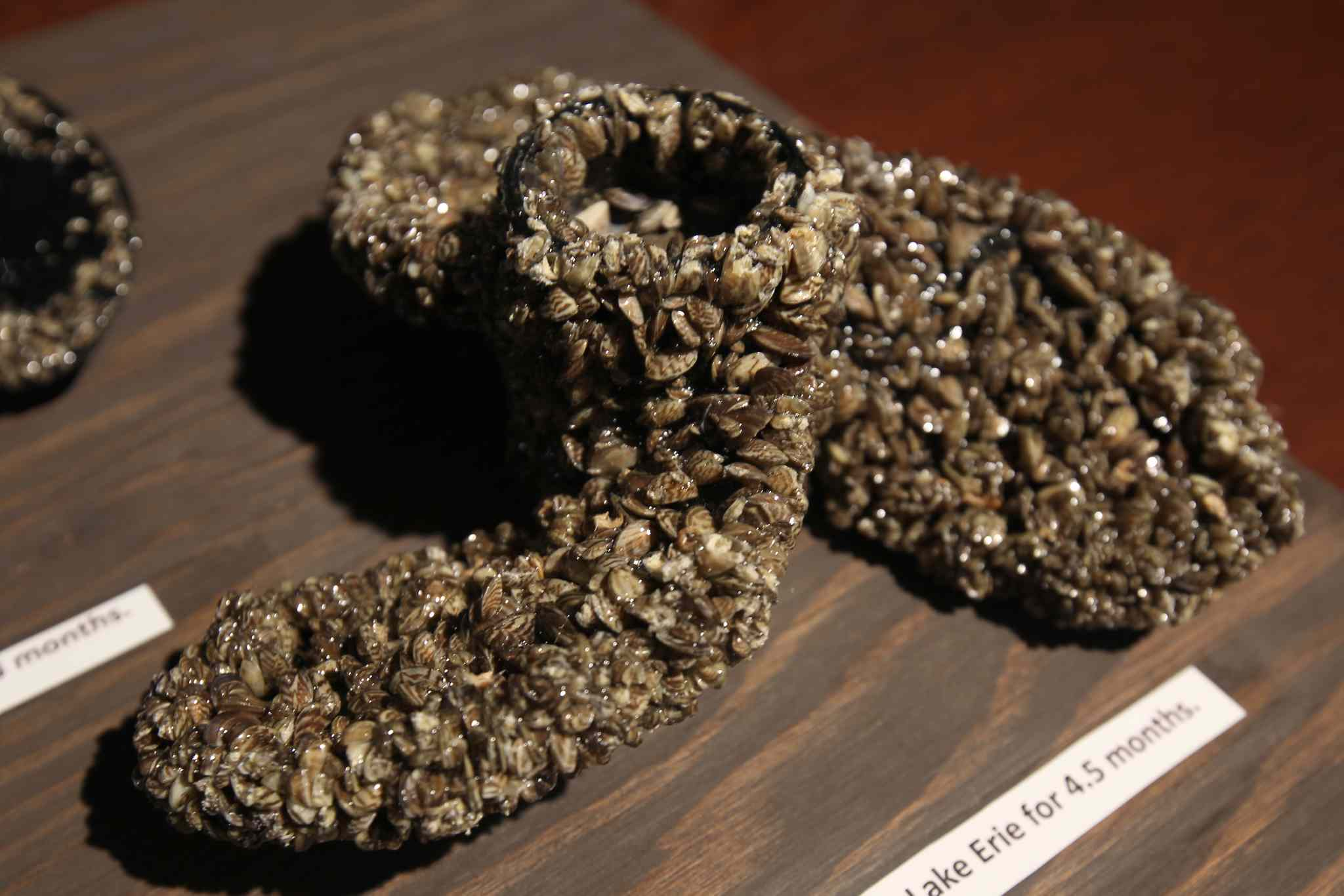 Conservation and Water Stewardship Minister Tom Nevakshonoff gives update on Zebra mussel fight in Manitoba at the Manitoba Legislature Thursday- A sample of boat propeller covered in zebra mussels from Lake Erie after being in the water for 4.5 months.