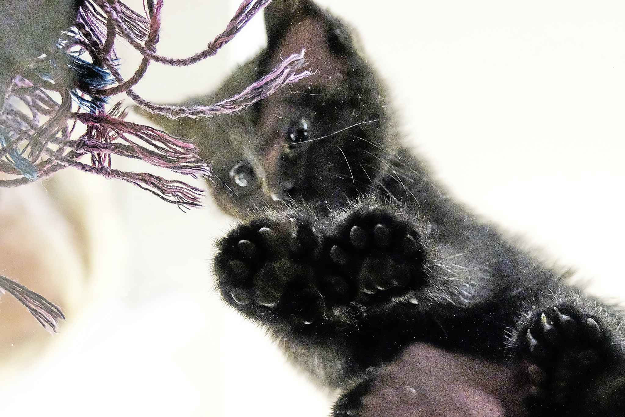 Polly the six-toed kitten turning heads at thrift shop