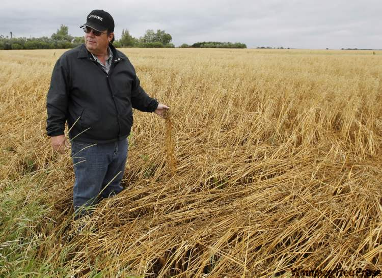 Farmer Chuck Fossay expects to lose one-third of his 3,800 seeded acres, and what he will harvest will likely be of poor yield or lower quality.