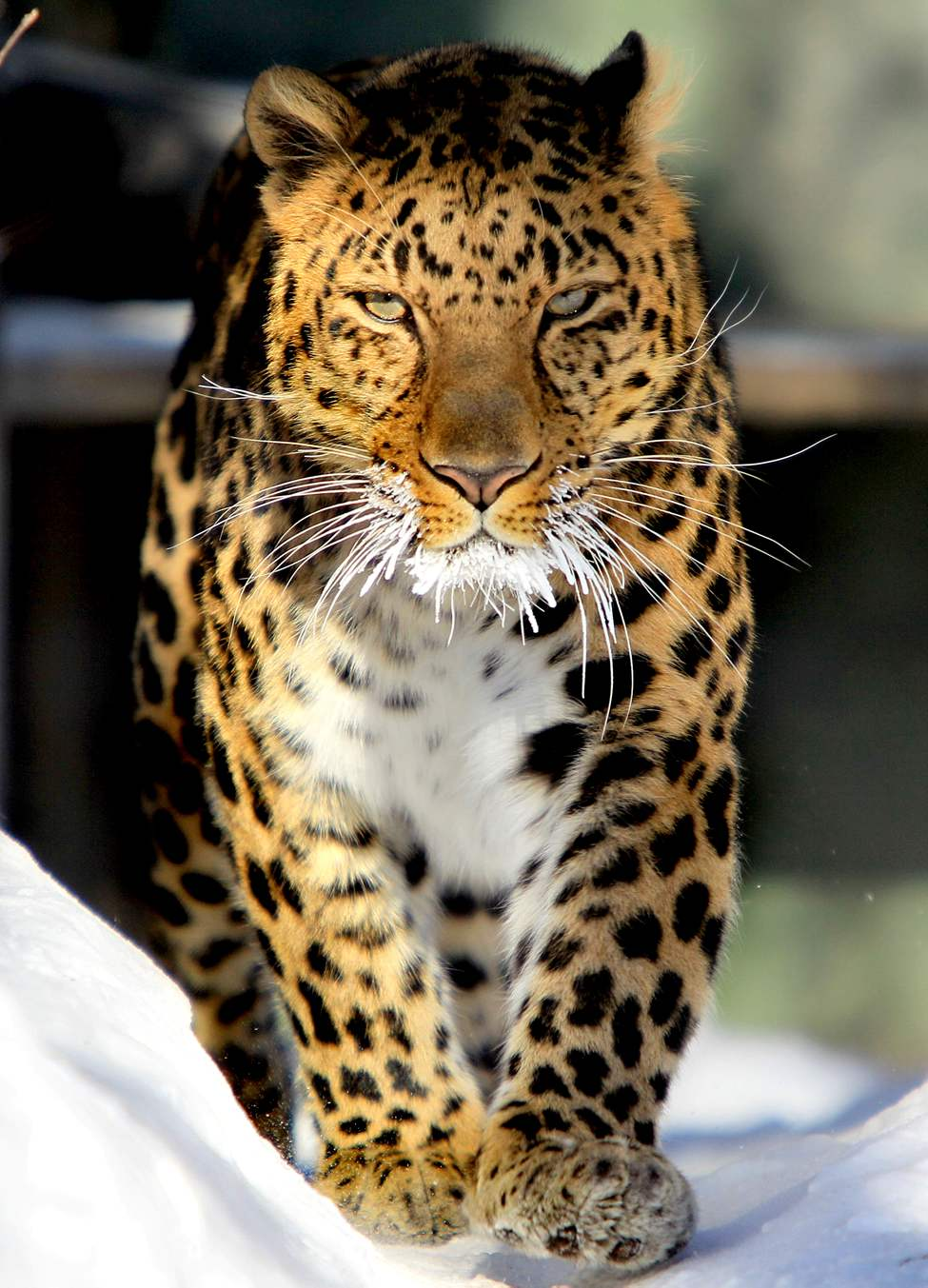 An Amur Leopard prances back and forth with snow-white whiskers Tuesday morning at the Assiniboine Park Zoo.  The Amur leopard is a critically endangered subspecies found mostly in temperate mixed forest and woodland areas in southeastern Russia, northern China and North Korea.
