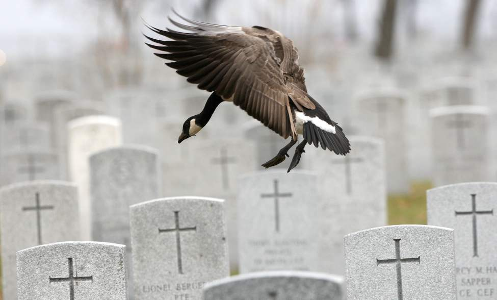 Only a few days before Remembrance Day, hundreds of Canadian geese have been seen in the field of honour at Brookside Cemetery in Winnipeg.  November 06, 2011