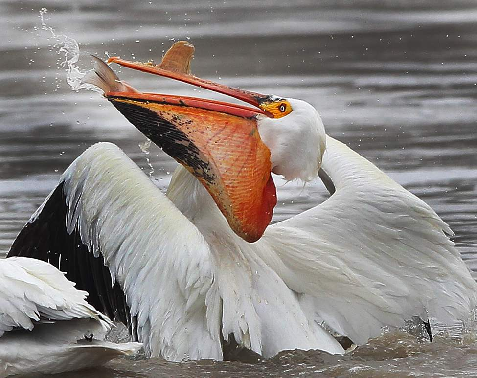 Down the Hatch- A pelican swallows a fresh fish it caught on the Red River. May 01, 2013   (JOE BRYKSA / WINNIPEG FREE PRESS)