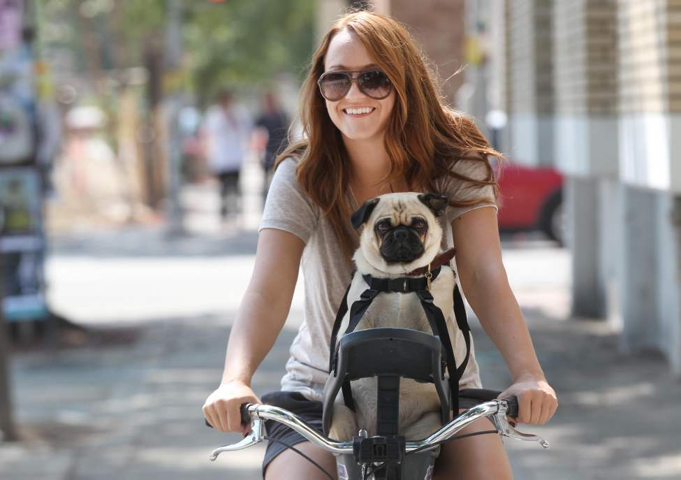 Prudence the pug goes for a bike ride with owner Carolyn Reimer on Sherbrook Street. August 15, 2013   (JOE BRYKSA / WINNIPEG FREE PRESS)