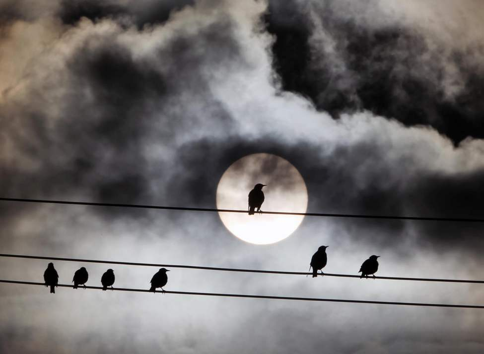 Grackles soak up the morning sun in Winnipeg�s north end. September 10, 2013   (JOE BRYKSA / WINNIPEG FREE PRESS)