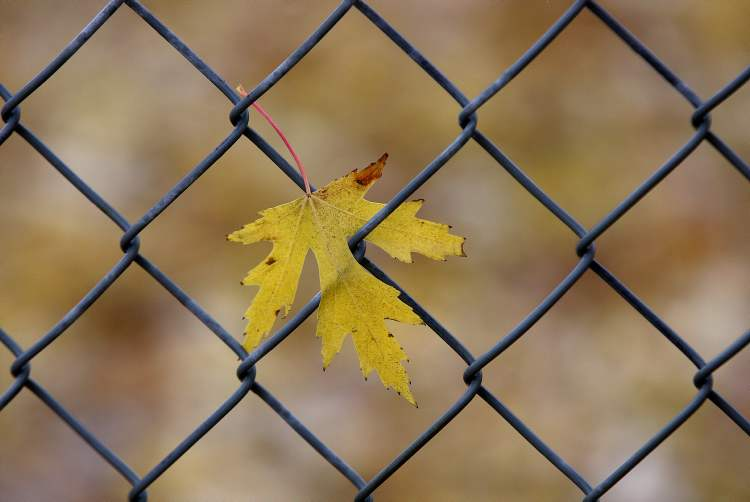 One fall coloured maple leaf hangs on to a wire fence as heavy winds blow cool wet weather through Winnipeg Thursday. (JOE BRYKSA / WINNIPEG FREE PRESS)