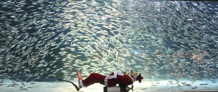 Dressed in a Santa Claus outfit, a diver performs with sardines at the Coex Aquarium in Seoul, South Korea, Tuesday, Dec. 11, 2012. Christmas is one of the biggest holidays in South Korea, where over half of the population are Christians. (AP Photo/Ahn Young-joon)