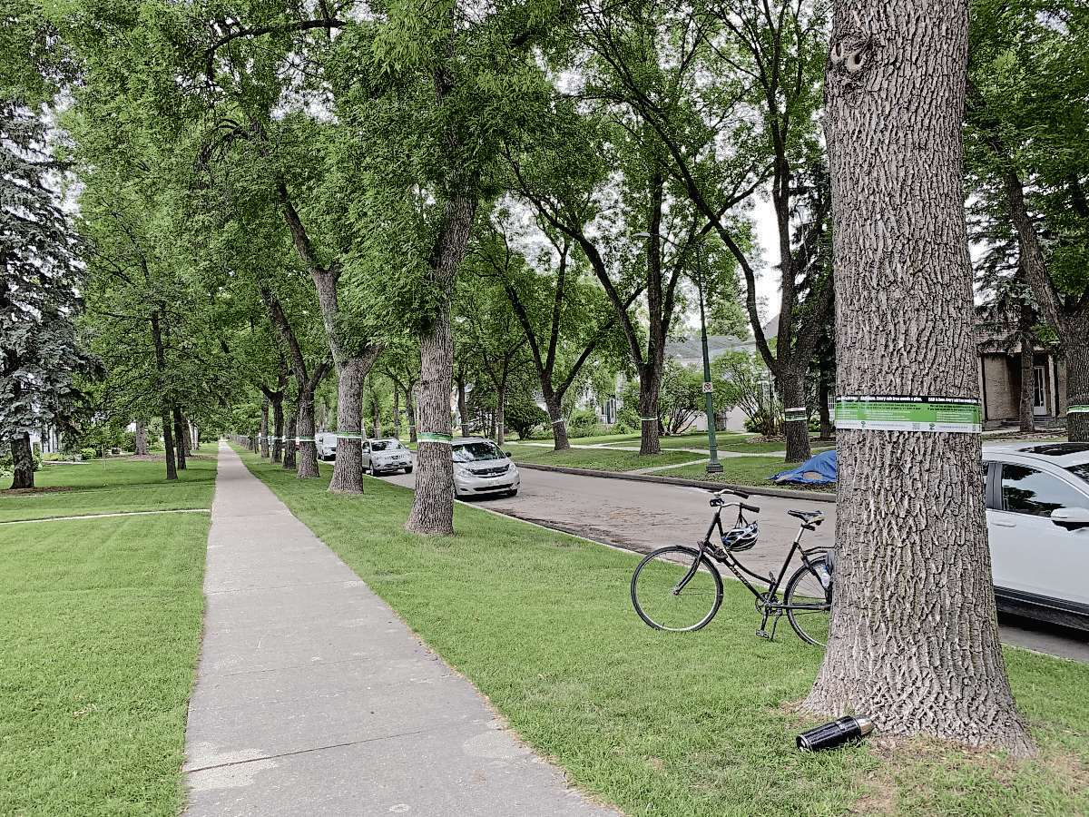 Ash Street in River Heights served as the backdrop for the launch of Emerald Ash Borer Preparedness Week. Trees Winnipeg is encouraging private property owners to start planning for the loss of their ash trees over the next 10 years due to the invasive insect.