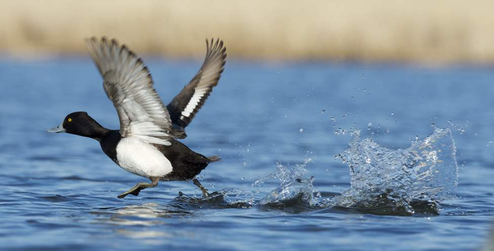 A lesser scaup does the old walk-on-water trick.