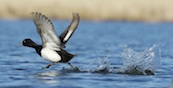 Lesser Scaup takes off at Delta Marsh- See Joe and Fred's Delta marsh feature- May 12, 2012   (FRED GREENSLADE FOR WINNIPEG FREE PRESS- 1 time use)