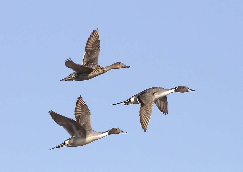 A trio of northern pintail ducks fly over Delta Marsh.