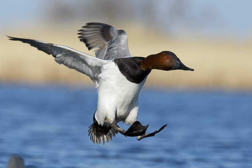 A canvasback duck comes in for a water landing at Delta Marsh.