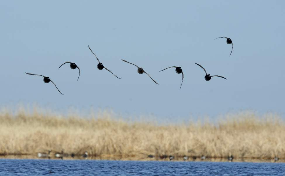 A group of lesser scaup come in for a landing.