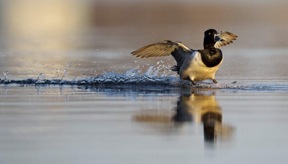 A ringnecked duck shows off its waterskiing skills as it lands at Delta Marsh.