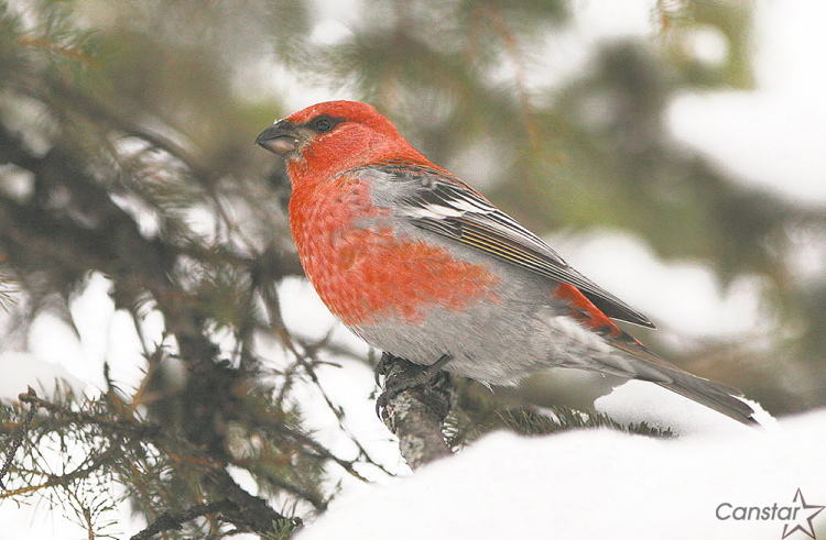 Pine grosbeaks, such as this one photographed in December, are among the many birds that can be seen in Kildonan Park in winter.