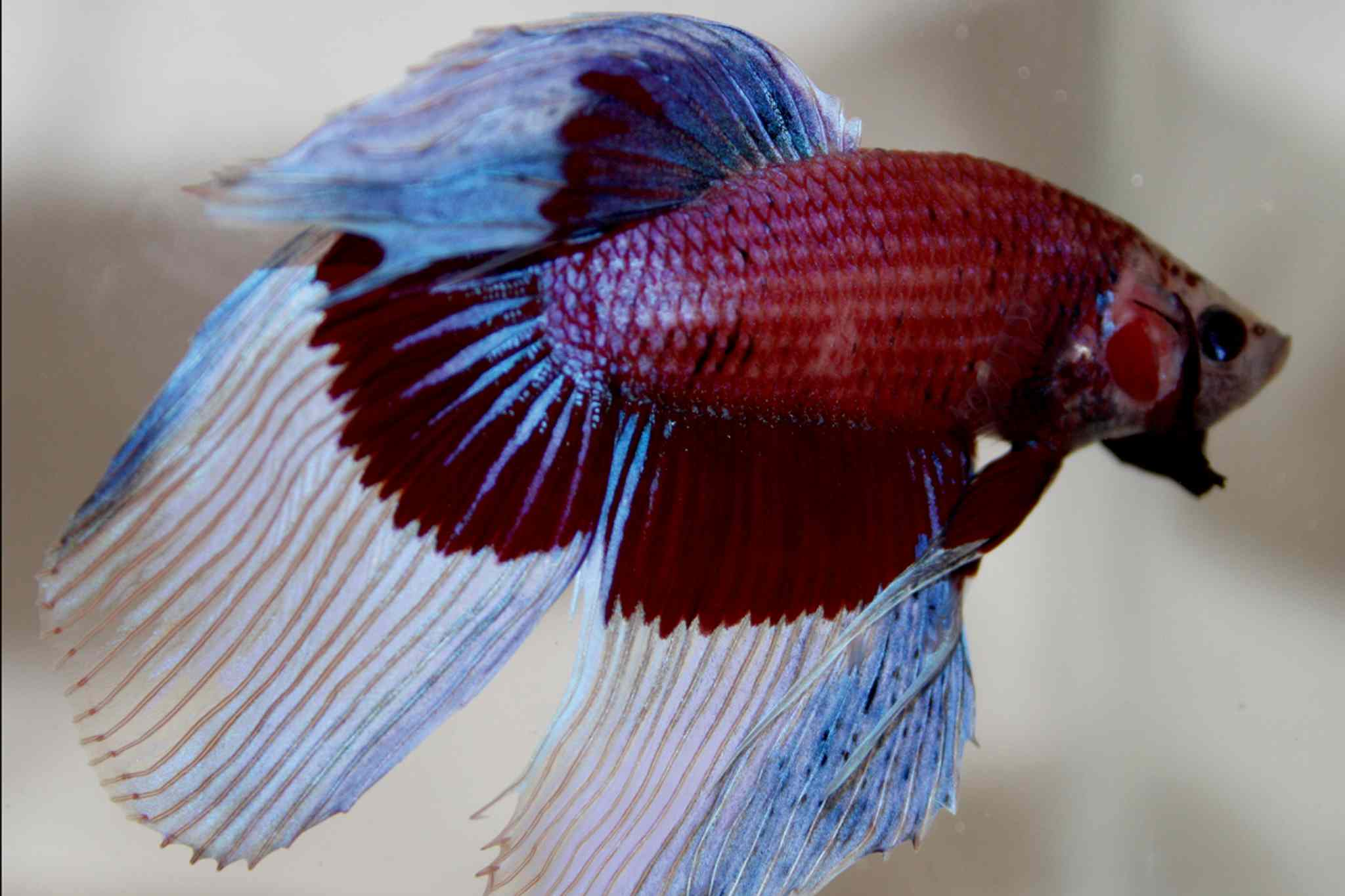The betta fish is a home designer's dream pet, with their brilliantly coloured scales. They also require little maintenance, since they are able to get oxygen from air as well as water.