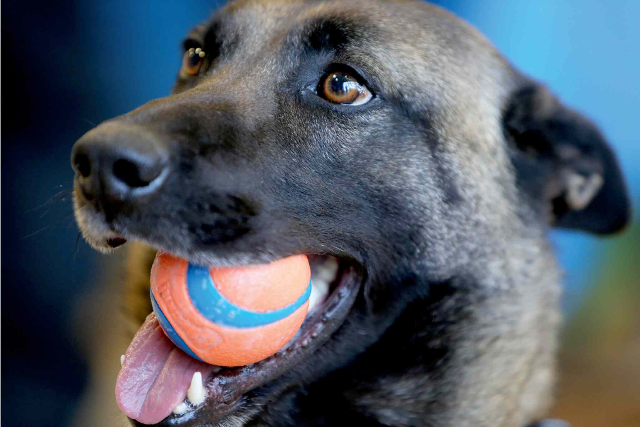 Mya, a Winnipeg Police Service K-9 Unit dog, is pictured in a file photo at Petland on Regent Avenue on Sat., April 13. The WPS has announced it is releasing a calendar showcasing the service's loyal canines, with proceeds going to the Winnipeg Humane Society.