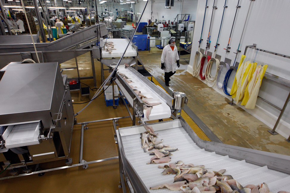 Fish travel along the conveyers to the freezer. (Ken Gigliotti / Winnipeg Free Press)