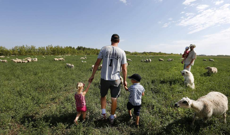 Sheep graze in a field of alfalfa � Jonathan Bouw, right, with his daughter Lucille, 19months, and brother Stefan with daughter Mikaya, 2, and son Jaxon, 4.  The Bouw family runs a grass fed beef and sheep operation in Anlola called Edie Creek Angus Farms. August 28 2013  (KEN GIGLIOTTI / WINNIPEG FREE PRESS)