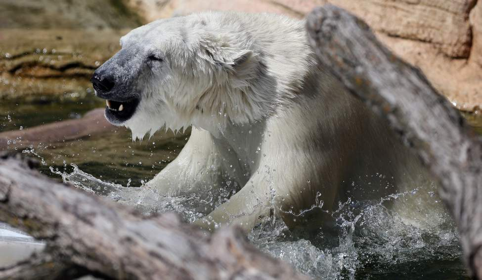 Assiniboine Park Zoo held a Stay Cool Polar Party to celebrate the arrival of Hudson, the two-year-old polar bear. August 19 2013 /  (KEN GIGLIOTTI / WINNIPEG FREE PRESS)