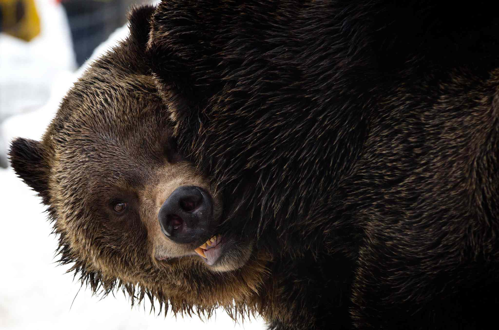 3. All bears, including polar, grizzly (pictured), brown and black bear.