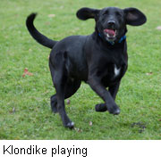 Techniques that helped create Klondike might aid scientists in repopulating threatened wolf species.