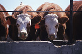 Researchers found high levels of genes for drug resistance in manure from dairy cattle.