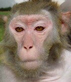 Lentiviruses evolved to current form found in monkeys.