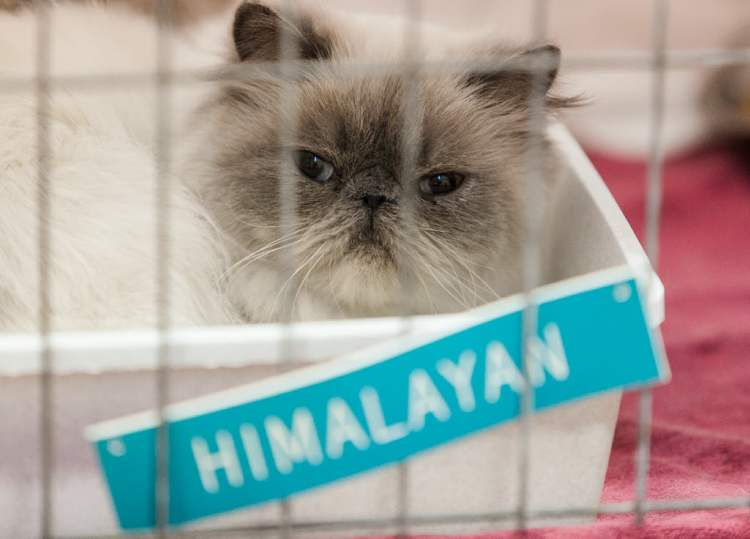 "A Himalayan cat waits to be judged. The Manitoba Cat Club held a ""Catnadian"" themed cat show at Holy Cross Gymnasium on Saturday. Over 85 cats of 15 different breeds are entered in a variety of competitions. The show continues until 5 p.m. and Sunday 9 a.m. to 5 p.m. (Melissa Tait / Winnipeg Free Press)"