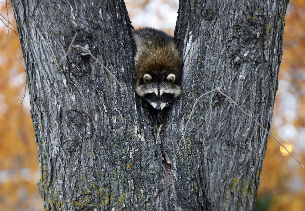 Here's Looking at You. A well camouflaged raccoon hangs out in a tree at Salter Street and Southall Drive just after a grey overcast  morning. October 20, 2014 (KEN GIGLIOTTI / WINNIPEG FREE PRESS)