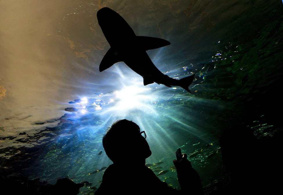 A person watches a shark swim above during the grand opening of the Ripley's Aquarium of Canada in Toronto on Wednesday, Oct. 16, 2013. THE CANADIAN PRESS/Nathan Denette (CP)
