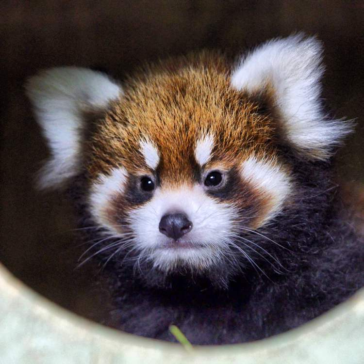 The Assiniboine Park Zoo unveiled this baby red panda Friday. They are looking for help naming the little gal. (Boris Minkevich / winnipeg free press)