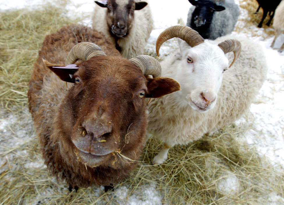 Clayton & Wendy Kunzelman farm in Inwood, Manitoba. They have special rare Icelandic sheep. November 16, 2012  (BORIS MINKEVICH / WINNIPEG FREE PRESS)