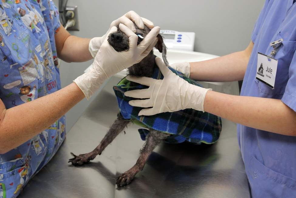 Preparing for a check on the tear ducts on an older dog in the adoption program.  (Boris Minkevich/Winnipeg Free Press)