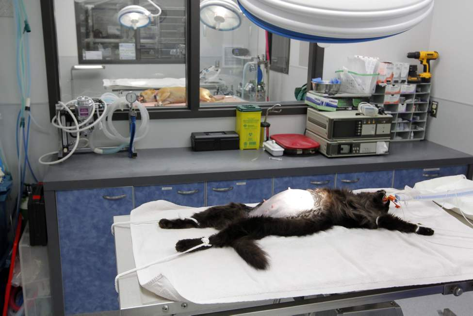 A cat awaits a surgery.