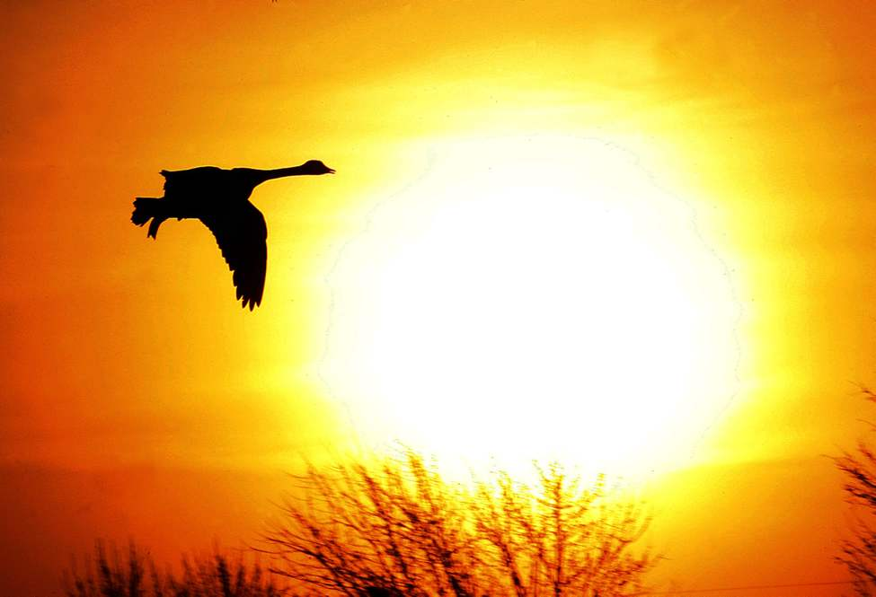 Unseasonably warm weather has brought the Canada Geese back to a retention pond on Garden Grove Drive at sunrise. March19, 2012   (KEN GIGLIOTTI  / WINNIPEG FREE PRESS)