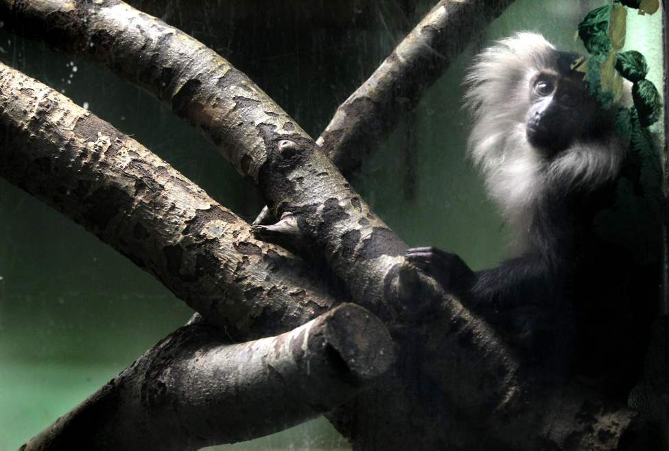 A lion-tailed macaque monkey peers through the glass enclosure at the Assiniboine Park Zoo. January 10, 2012