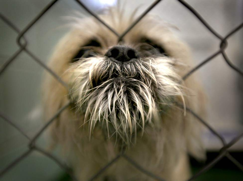 A blonde terrier pokes his nose through the cage as he whines at the pound Tuesday morning. The City of Winnipeg Animal Adoption Agency is holding an adoption sale. May 15 2012 (Ruth Bonneville/Winnipeg Free Press)
