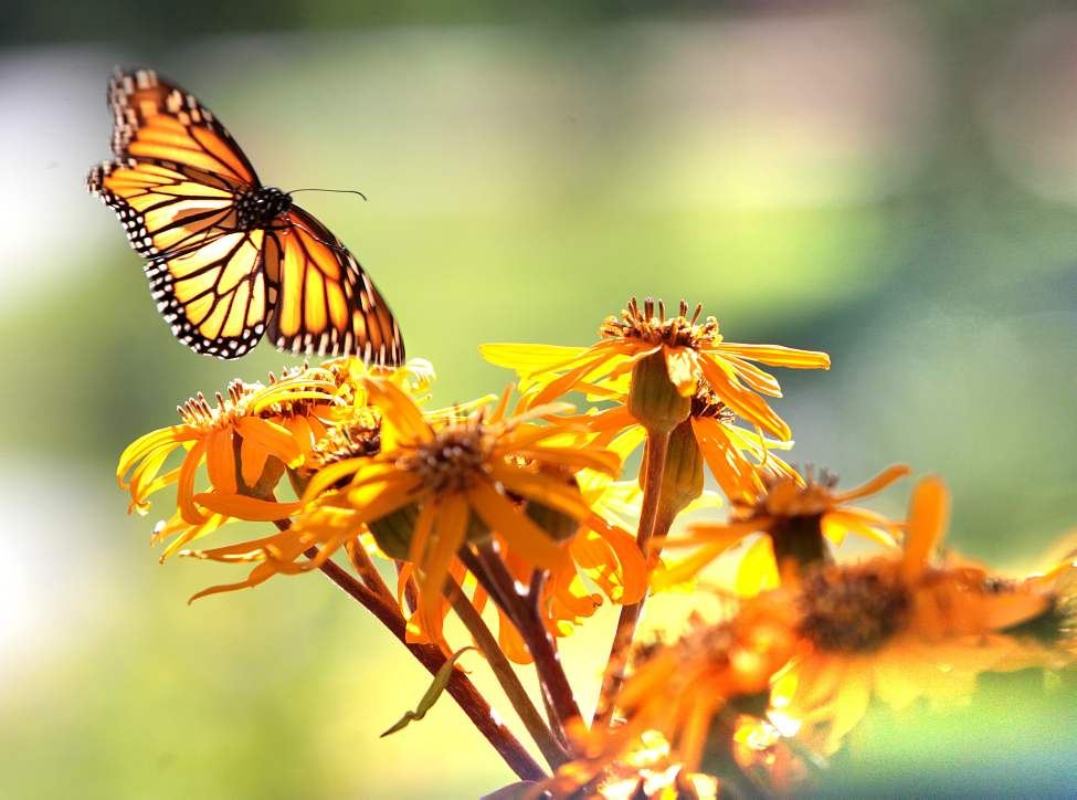 The wings of a monarch butterfly flutter as it hovers above a flower in the Kildonan Park flower gardens Saturday morning. August  25,  2012 (Ruth Bonneville/Winnipeg Free Press)