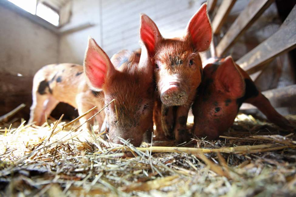Terry Mierau's five-week-old Bershire and Tamworth crossbred piglets. September 15,  2012 (Ruth Bonneville/Winnipeg Free Press)