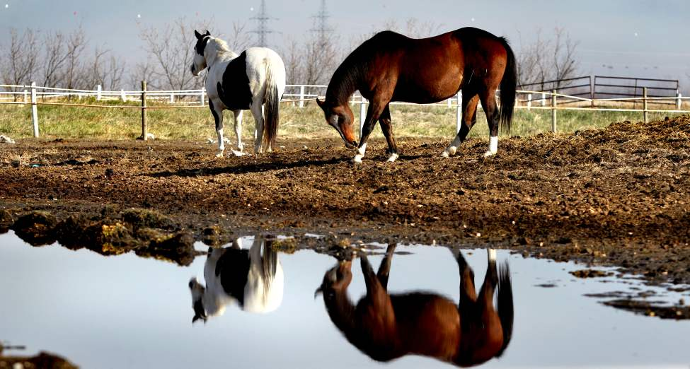 The warmth of the sun slowly burns away the low-lying fog that surrounded a group of horses  at Murdock Stables Tuesday morning. October 16,  2012 (Ruth Bonneville/Winnipeg Free Press)