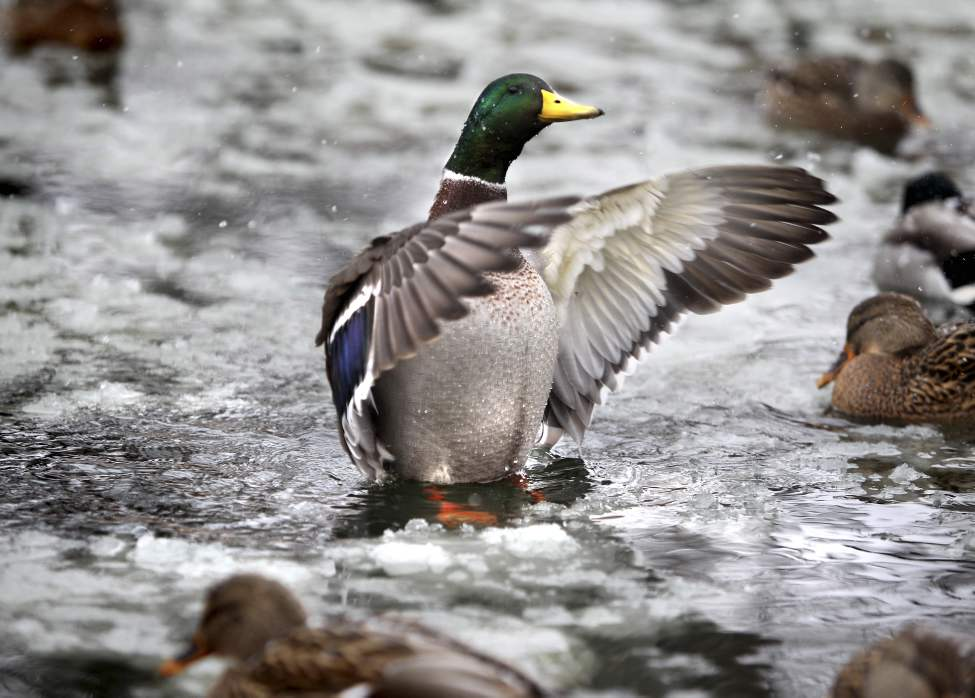 A duck spreads its wings to lift itself out of the ice that has formed  around it on the Assiniboine Park Duck Pond Saturday morning. November 10 ,  2012 (Ruth Bonneville/Winnipeg Free Press)