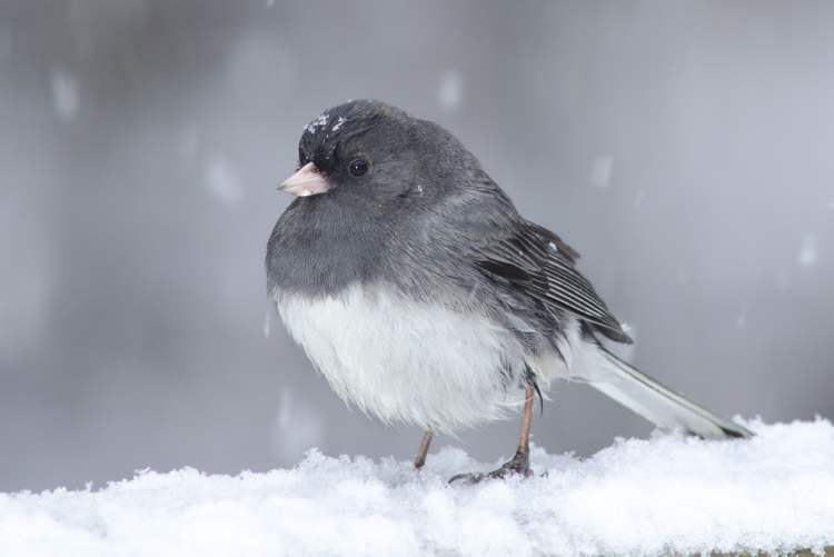 'Spring has already been spreading rumours of its impending arrival and this little Junco fell for it,' writes Ric Hornsby from Gimli, Man.