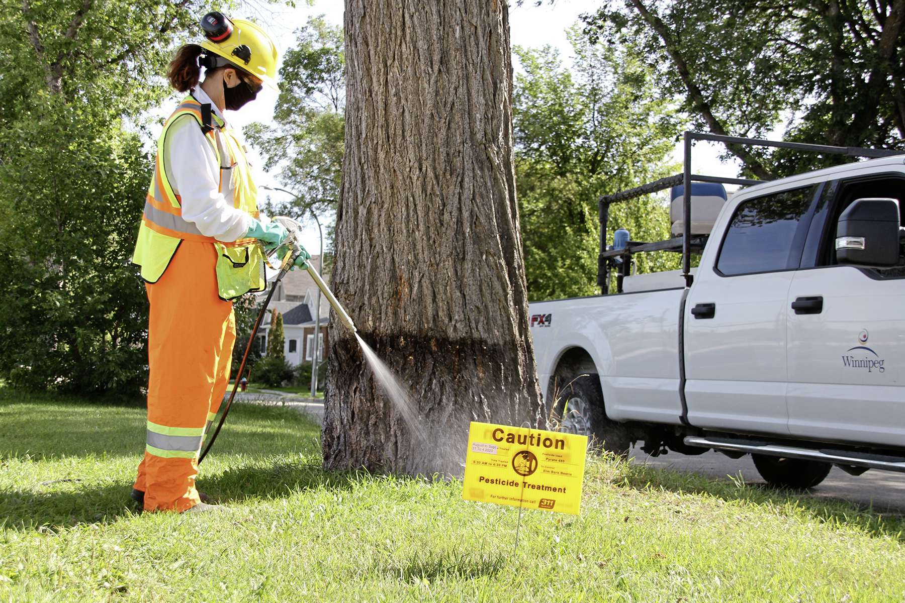 Insecticide is applied to the base of an elm tree in Riverview to kill the elm bark beetles.