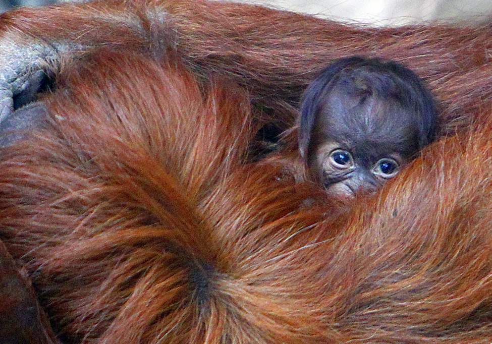 Emma the Sumatran Orangutan holds her unnamed three-day-old infant, at Chester Zoo, in Chester, England, Monday Oct. 22, 2012. (AP Photo/ Peter Byrne/PA)